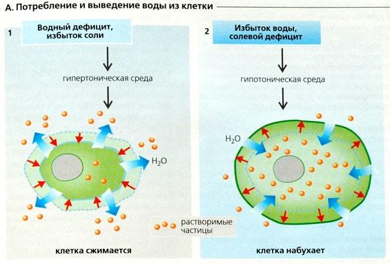 Потребление и выведение воды из клетки