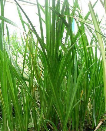 Заросли аира обыкновенного на болоте